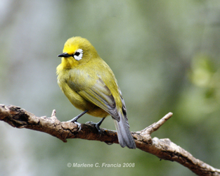 Kikuyu white eye
