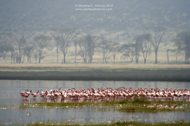 Pink Flamingos of Lake Nakuru