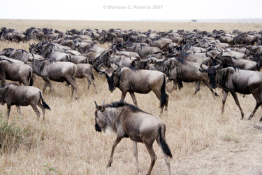 Blue Wildebeests of the Masai Mara